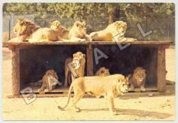 Thoiry (78) - Château De Thoiry - Groupe De Lions En Liberté (JS) - Lions