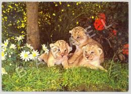 Thoiry (78) - Château De Thoiry - Lionceaux Au Milieu Des Fleurs (JS) - Lions