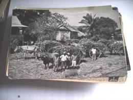 Trinidad Sugar Cane Awaiting Transport Caroni - Trinidad