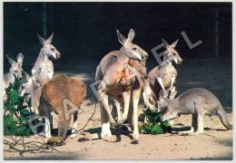 Stuttgart-Bad Cannstatt (Allemagne) - Wilhelma - Zoologische Garten - Kangourous (JS) - Animaux & Faune