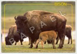 Parc National De Yellowstone (États-Unis) - Bison (JS) - Animals