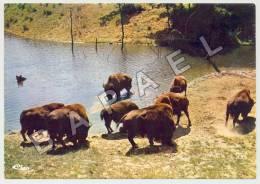 Peaugres (07) - Safari De Peaugres - Bisons En Liberté (JS) - Animals