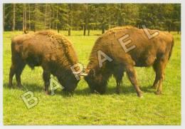 Treigny (89) - Parc Naturel De Boutissaint - Combat De Bisons De Pologne (JS) - Animals