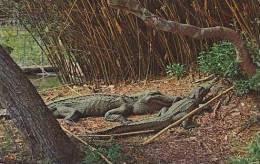 Louisianna Lovely Louisiana Alligators