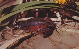 Louisianna Lovely Louisiana Crawfish