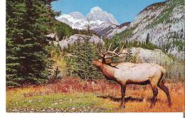 North American Elk Or Wapiti, Banff National Park, Alberta  -  The Canadian Rockies - Banff