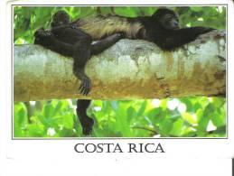 Costa Rica  Mono Congo   Howler Monkey   Singe Hurleur   Alouatta Palliata - Apen