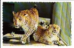 Granby Québec - Parc Zoologique - Zoo - Léopards Des Indes - Indian Panthers - État TB - Granby