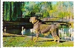 Granby Québec - Parc Zoologique - Zoo - Guépard D'Afrique - African Cheetah - État TB - Granby