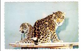 Granby Québec - Parc Zoologique - Zoo - Jaguar D'Amérique Du Sud - South American Jaguar - État TB - Granby