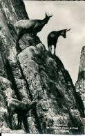 Chamois / Gemsen / Camoscio / Wildpark Peter & Paul St. Gallen - Animaux & Faune