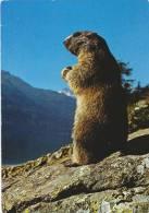 Marmotte / Murmeltier / Marmot - Animaux & Faune