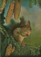 Ecureuil / Eichhörnchen / Squirrel - Animaux & Faune