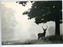 Chambord  Enchantements De La Forêt : Silhouette Dans Le Brume - Photo Le Meur N°41511 Cerf - Chambord