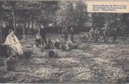 Westmalle    Ferme-école De Westmalle  Arrachage De La Pomme De Terre Oom Paul     Scan 3869 - Malle