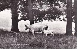 CHILLINGHAM WILD CATTLE - Vaches