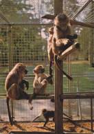 CPSM SINGES ZOO MONTEVRAN CHAUMONT SUR THARONNE 41 HAMADRYAS - Scimmie