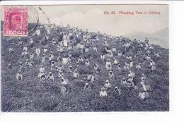 Sri Lanka  --  Plucking Tea In Ceylon - Cartes Postales