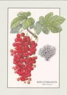 Red Currants - Ribes Silvestre - Botanik