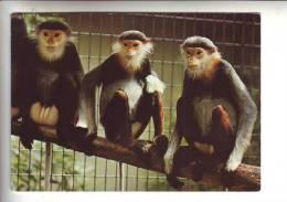 Zoologischer Garten Basel  Kleideraffe - Affen