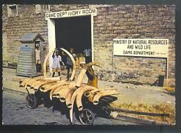 KENYA Elephant Tuska  Cartolina Viaggiata  1970 - Kenia