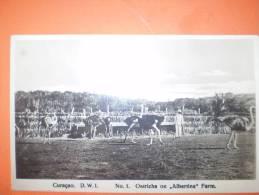 "A1193 Curacao Caraibi Struzzi ""albertina Farm"" Cm9x14 - Cartoline"