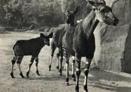 65901 - Parc Zoologique De Paris    Famille D'Okapis  (Congo Belge) - Zebra's