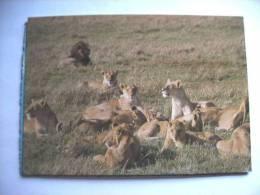 Afrika Africa Kenya Lions - Kenia