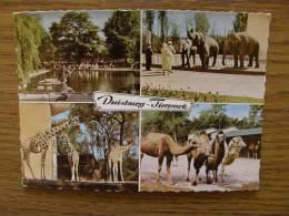 ZOO Duisburg - Tierpark - Elephant  Camel  Giraffe  D103498 - Elephants