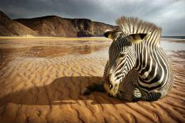 New Postcard, Postkarte, Carte Postale, Animal, Tier, Animale, Beach, Coast, Sand, Zebra - Zebras