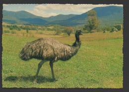 DF / ANIMAUX / OISEAUX / EMEU / AUSTRALIE - Oiseaux
