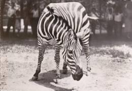 CPSM ZEBRE 119  PUB TRANSFUSINE 1959 PHOTO VERITABLE - Cebras