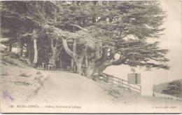 BLIDA-CHRÉA - Cèdres Derrière Le Refuge - Blida