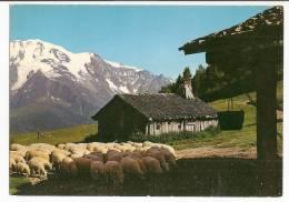 Haute Savoie - 74 - Saint Nicolas De Veroce Alpage De Deschapieux Moutons - France