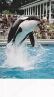 Killer Whale , Aquarium, VANCOUVER , B.C., Canada , 50-70s - Tierwelt & Fauna