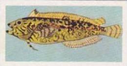 United Tobacco South Africa Vintage Trade Card African Fish 1937 No 33 Klip Fish - Cigarette Cards