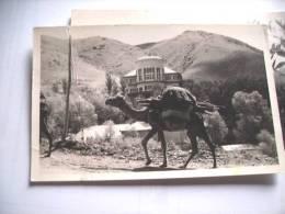 Azië Asia Iran Abali Camel - Iran