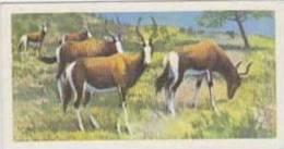 Brooke Bond Tea Vintage Trade Card Wildlife In Danger No 19 Bontebok - Tea & Coffee Manufacturers