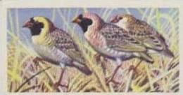 Brooke Bond Tea Vintage Trade Card Tropical Birds 1961 No 12 Red-Billed Quela - Thé & Café