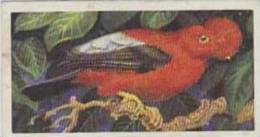 Brooke Bond Tea Vintage Cigarette Card Tropical Birds 1961 No 24 Scarlet Cock Of The Rock - Tea & Coffee Manufacturers
