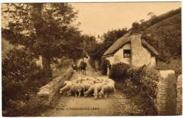 A Devonshire Lane, Old Postcard, Sheep (pk11913) - England