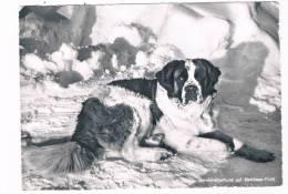 CH-2310   MELCHSEE-FRUTT : Bernhardinerhund - OW Obwald