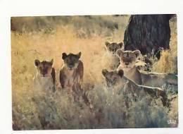 Faune Africaine. Lionne Et Lionceaux.  Editions Hoa-Qui 4064 - Lions