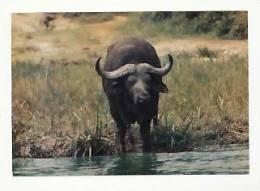Faune Africaine. Buffle.  Editions Hoa-Qui 4012 - Lions