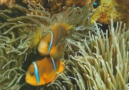 Clown Fish Et Giant.  Sea Anemone. - Fische Und Schaltiere