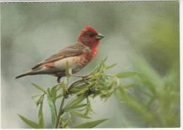 Animaux - Oiseaux - Karmingimpel - Roselin Cramoisi -Ciuffolotto Scarlatto-Editeur: Ligue Suisse Protection De La Nature - Oiseaux