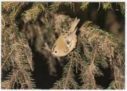 Animaux - Oiseaux - EWintergoldhähnchen - Roitelet Huppé - Regulus Regulus -Editeur:Ligue Suisse Protection Nature - Birds