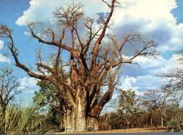 (222) Zimbabwe - Victoria Falls Tree - Zimbabwe
