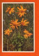 1 Cpa Fleurs Arnica Montana - Fiori, Piante & Alberi