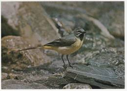Oiseaux - Bergstelze - Bergeronnette Des Ruisseaux  -Editeur:Ligue Suisse Protection Nature - Vogels
